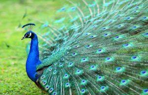 Lông công trong phong thủy, Lông chim công, Cách cắm lông công phong thủy, Ý nghĩa lông công phong thủy, bình lông công đẹp,